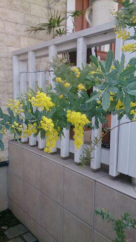 春の花 ミモザ
